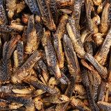 Gevriesdroogde Sprinkhanen 40 gram_