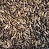 Gevriesdroogde Huiskrekels 40 gram_